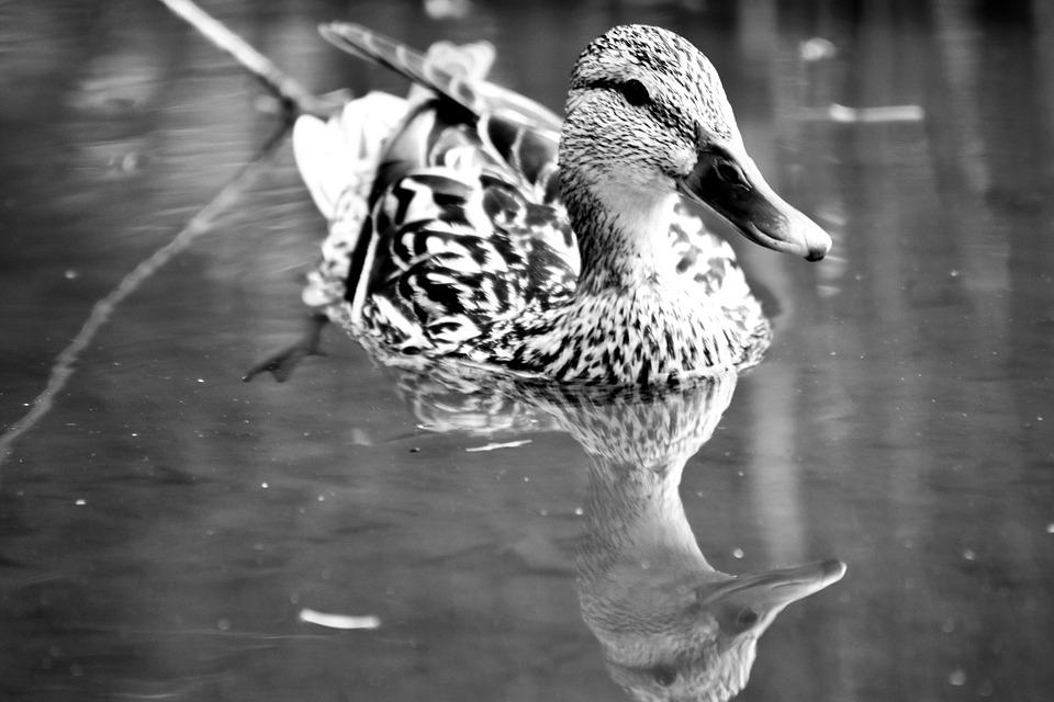 Duck, Mallard Duck, Water, Waterfront, Animal