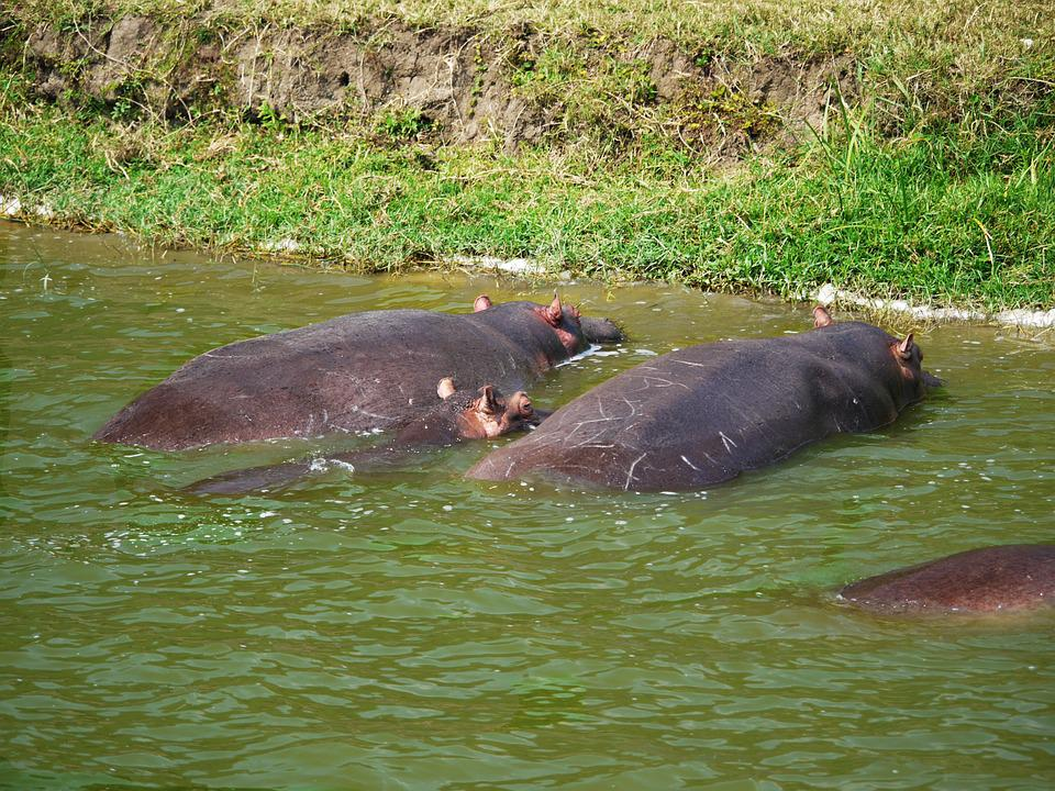Hippos, Watering Hole, Animals, Family, Baby, Doze