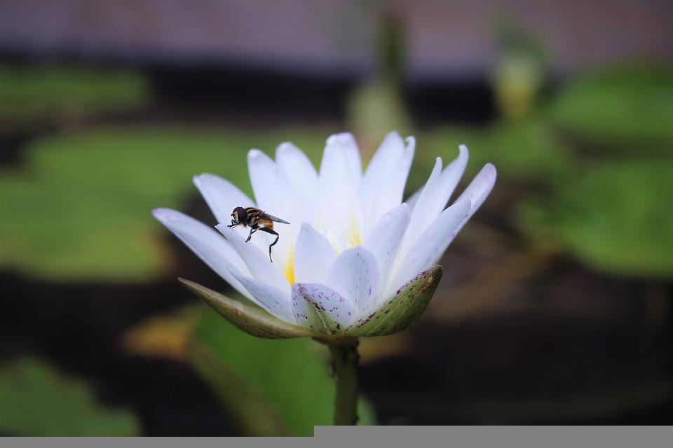 Bee, Waterlily, Lotus Flower, Hymenoptera, Insect