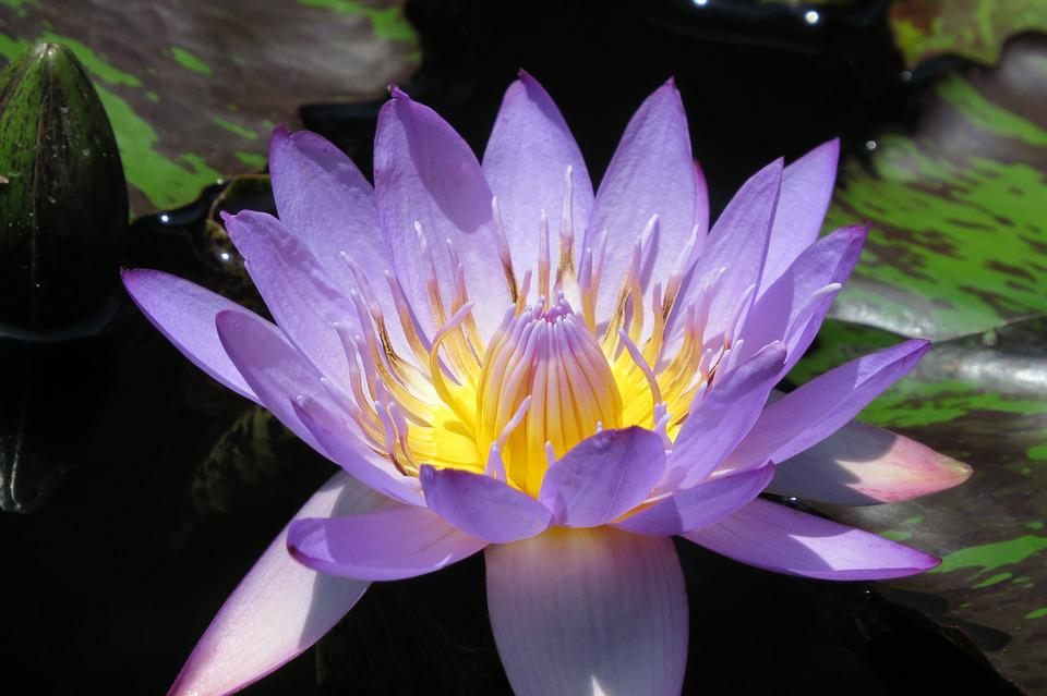 Purple, Blooming, Waterlily, Nature, Flower, Pond