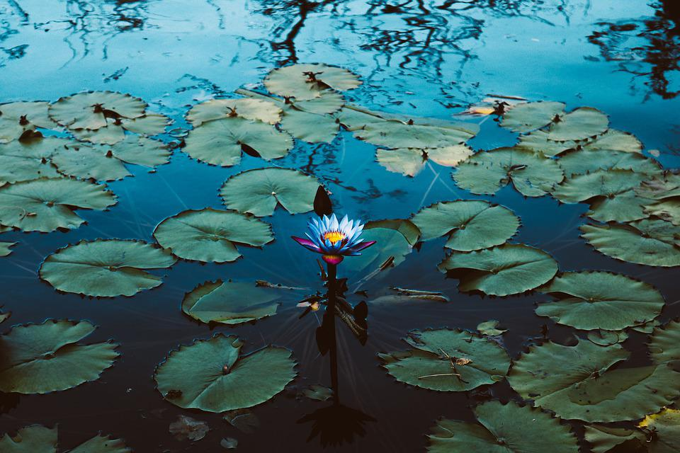 Waterlily, Shadow, Reflection, Blossom, Nature