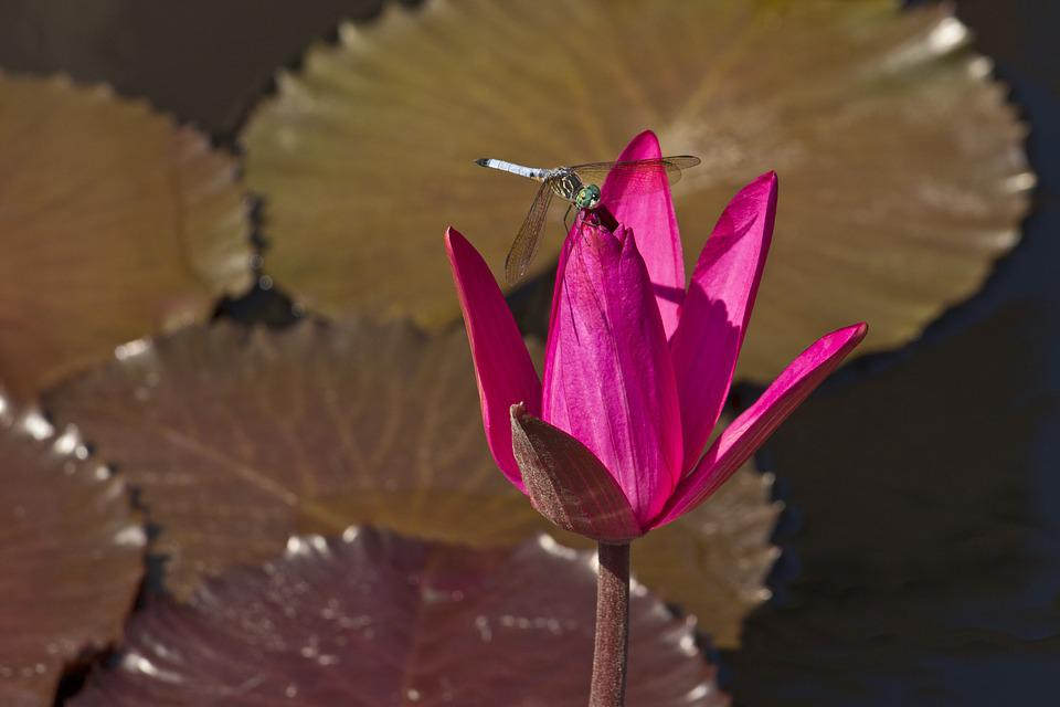 Water Lily, Flower, Pink, Pads, Water, Waterlily