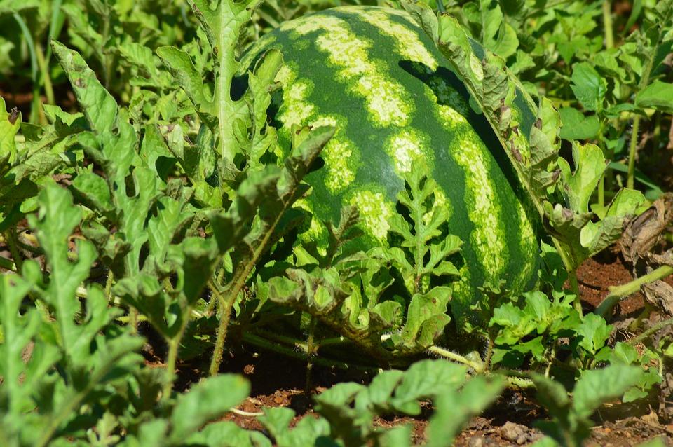 Watermelon, Fruit, Horta, Greens