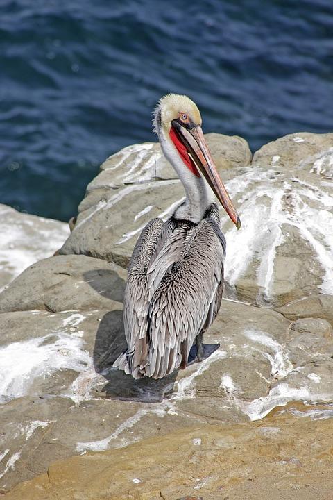 Waters, Sea, Pelikan, Nature, Bird, Ocean, Animal World