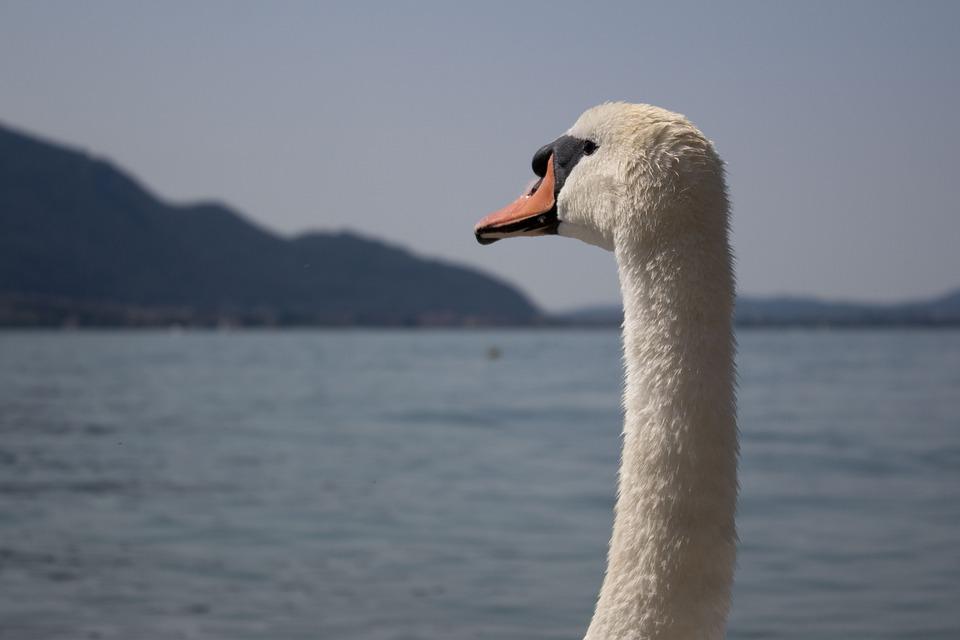 Swan, Lake, Nature, Waters, Animal, Swim, Feather
