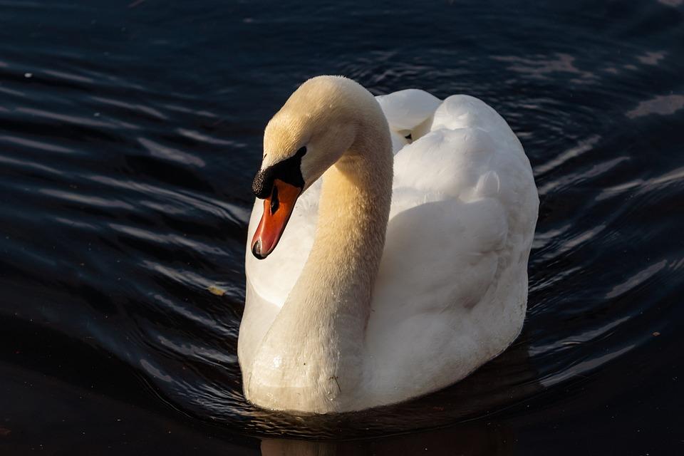 Bird, Waters, Swan, Nature, Swim, Lake, Animal World