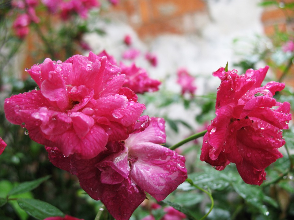 Rain, Xitang, Watertown, Roses, Pink, Beautiful