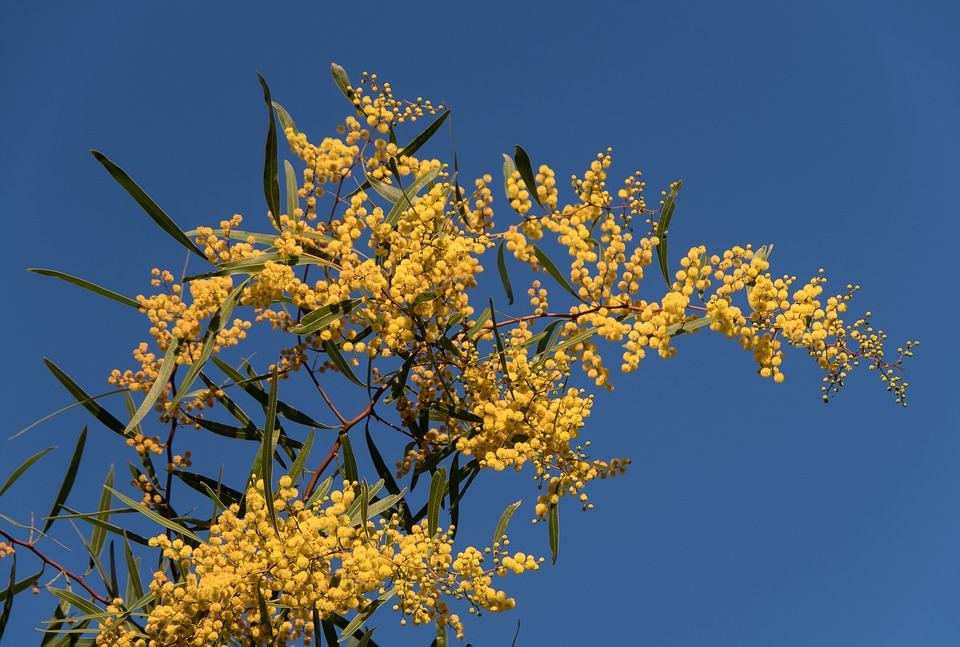 Free photo wattle fluffy yellow flowers acacia max pixel acacia wattle flowers yellow fluffy mightylinksfo