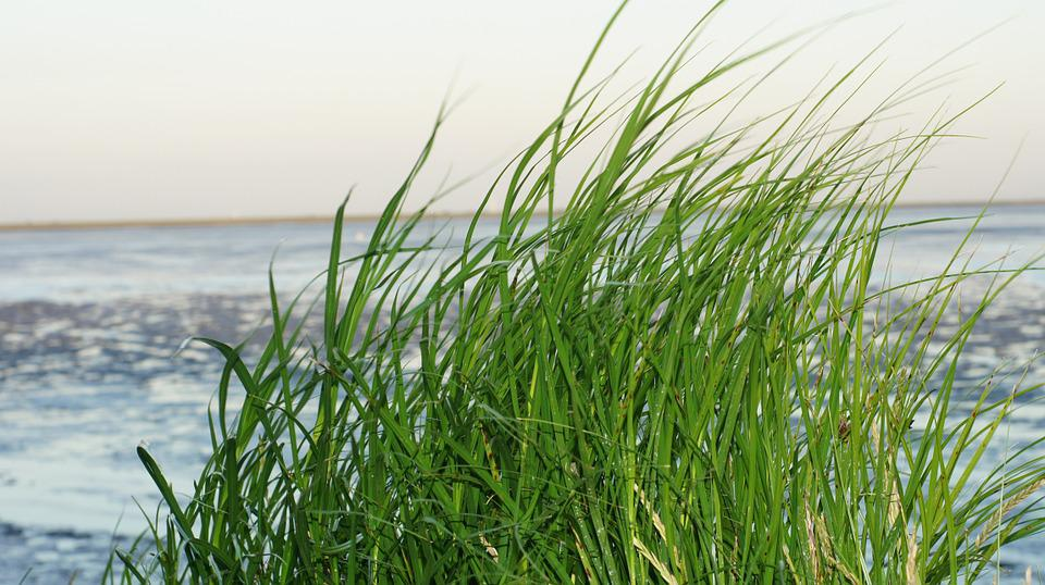 Grass, Watts, North Sea, Wadden Sea, Green