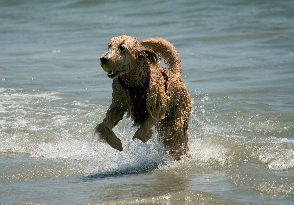 Water, Sea, Nature, Wave, Beach, Dog, Pet, Ocean