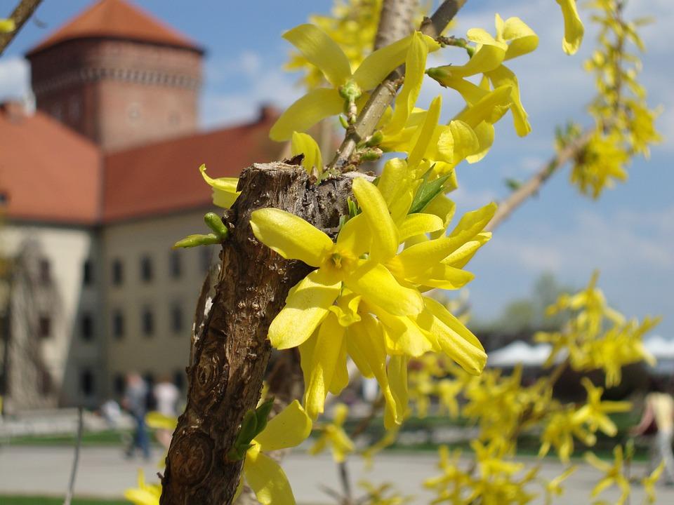 Forsythia, Kraków, Poland, Wawel, Flowers, Spring