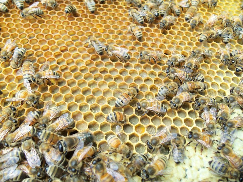 Honey Bee, Capped, Pollen, Worker, Wax, Insect, Hive