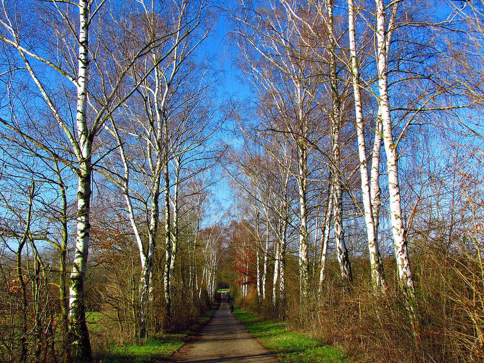 Spring, The Path, Spacer, Birch, Way, Forest, Tree