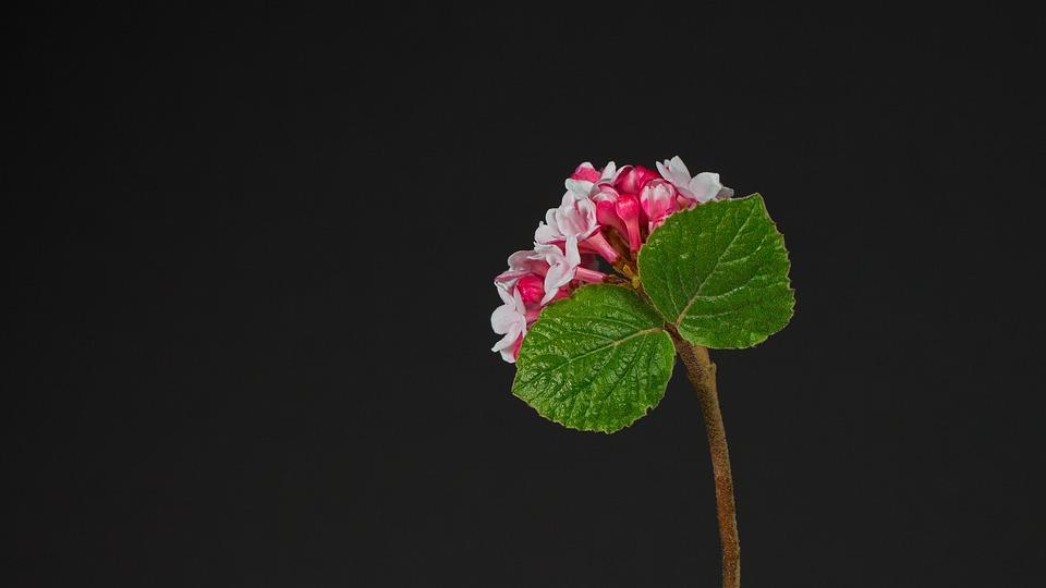 Lantana, Flowers, Plant, Wayfaring Tre, Petals, Buds