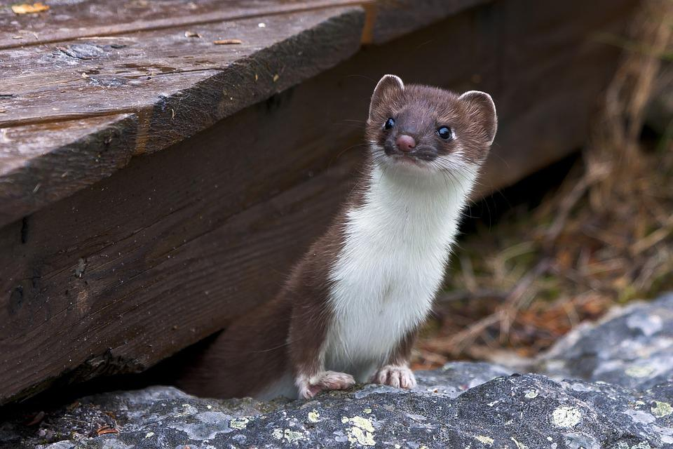 Weasel, Fur, Whiskers, Rodent, Mammal, Animal