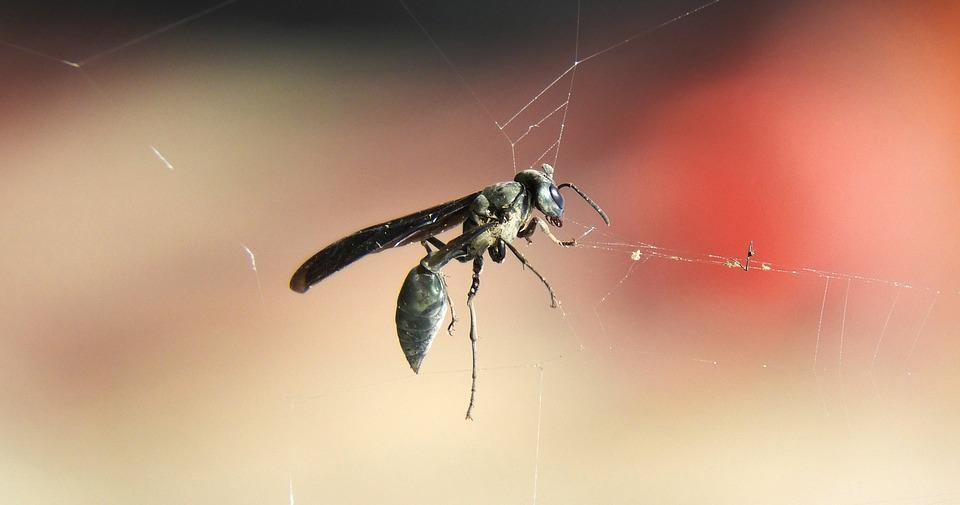 Insect, Nature, Wasp, Web