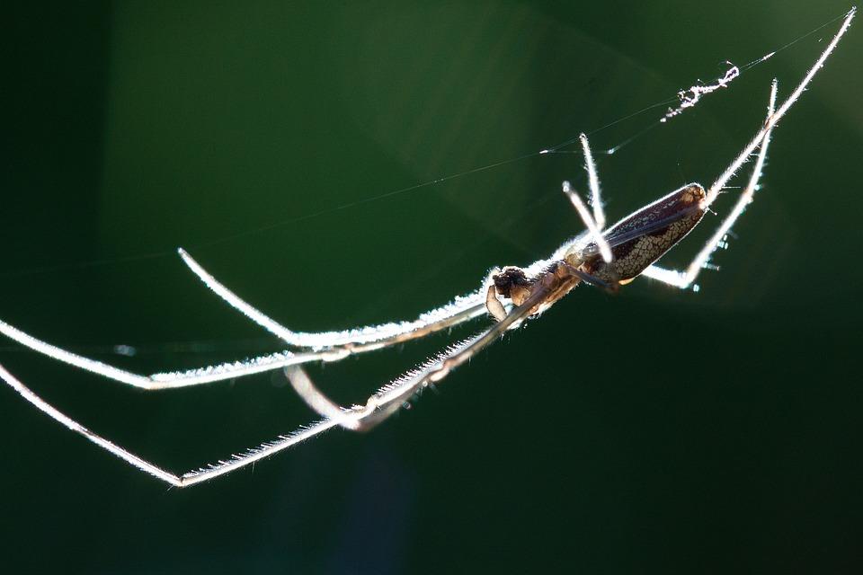 Strecker Spider, Tetragnatha Extensa, Web Spider
