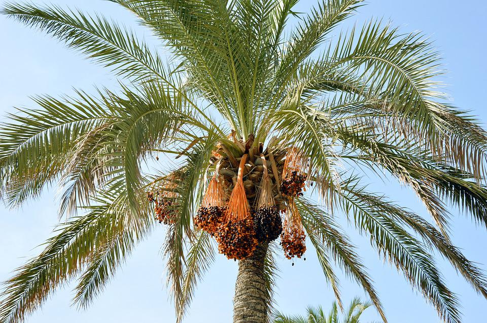 Palm, Tree, Palm Fronds, Wedel, Palm Fruits, Fruits