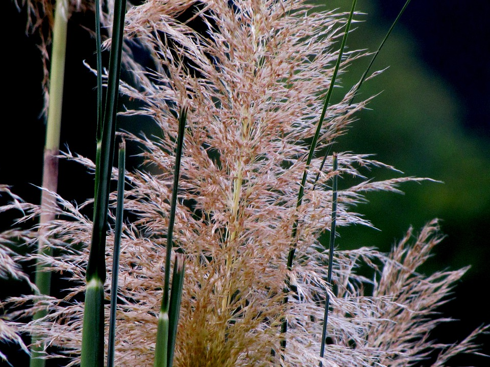 Grass, Pompas, Weed, Inflorescence, Tall, Reed