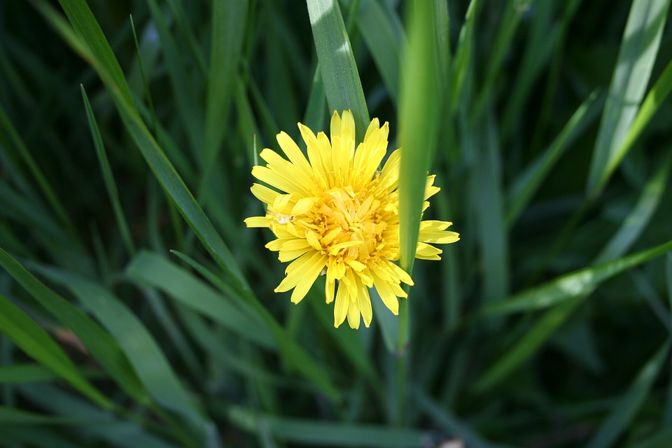 Dandelion, Weed, Nature, Summer, Flower, Yellow, Wild