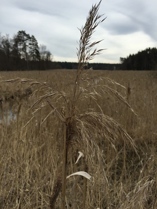 Reed, Weed, Landscape, Nature, Swamp, Outdoor, Green