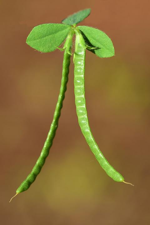 Coronilla Valentina, Coronilla, Weed, Green, Plant