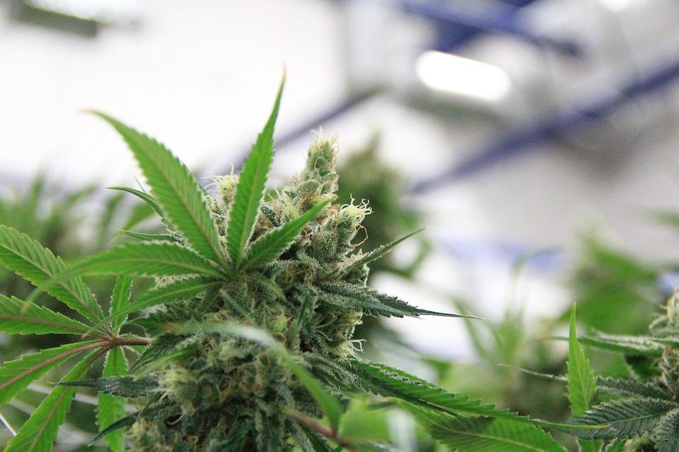 Cannabis, Mmj, Marijuana, Pot, Herb, Weed, Medical
