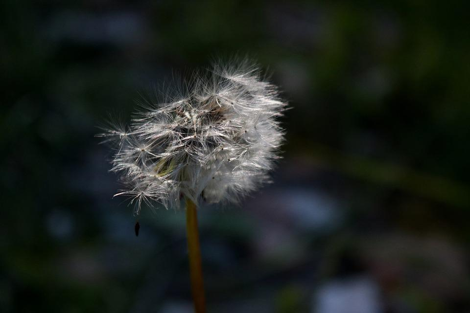Free Photo Weed White Dandelion Blowing Garden Plant Nature Max Pixel
