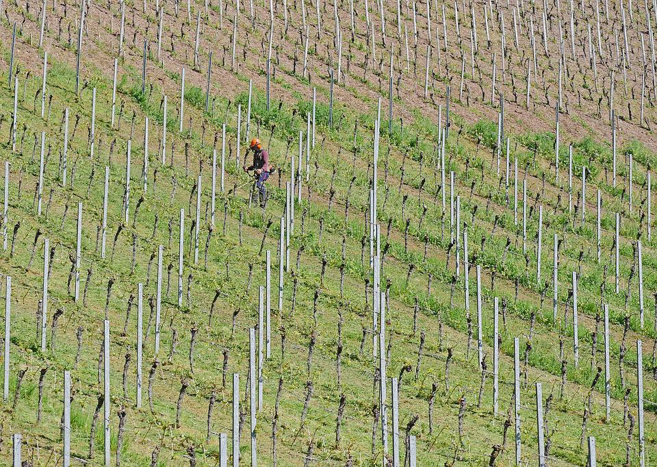 Work In The Vineyard, Weeding, Motor Mower