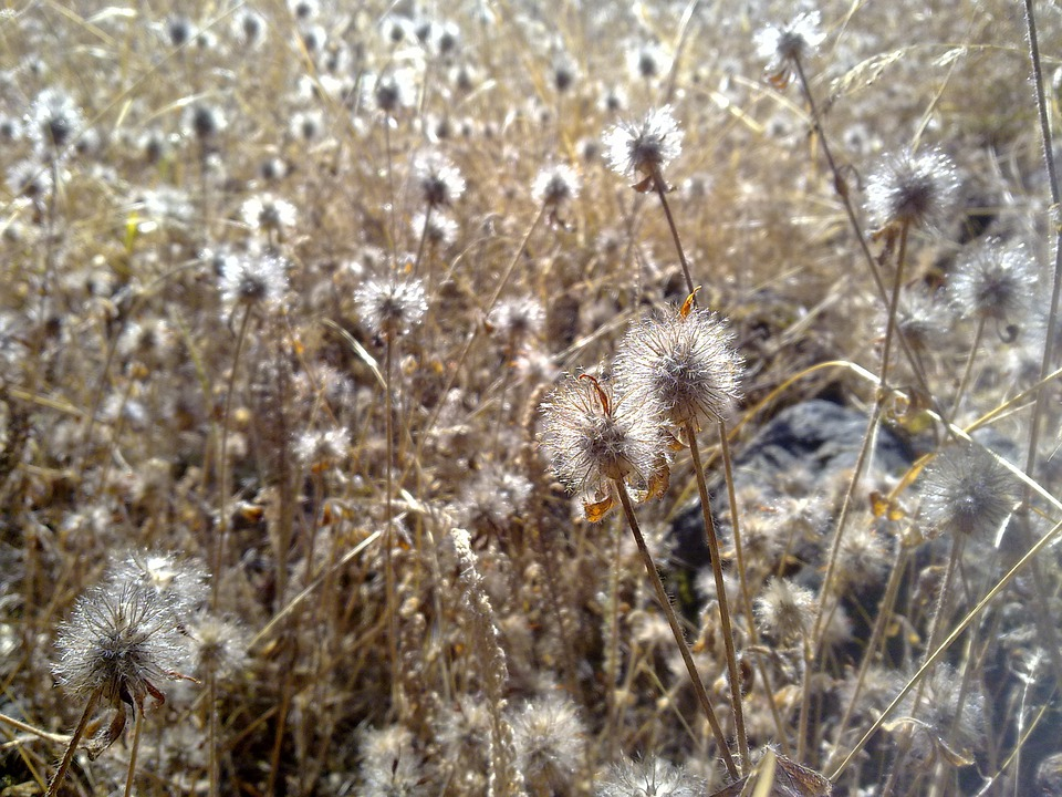 Dry, Grass, Weeds, Field, Summer, Seed, Autumn, Yellow