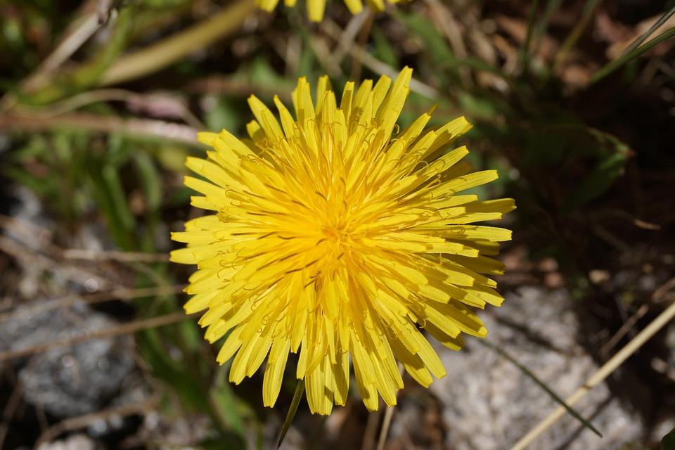 Dandelion, Flower, Weeds, Yellow, Meadow, Garden