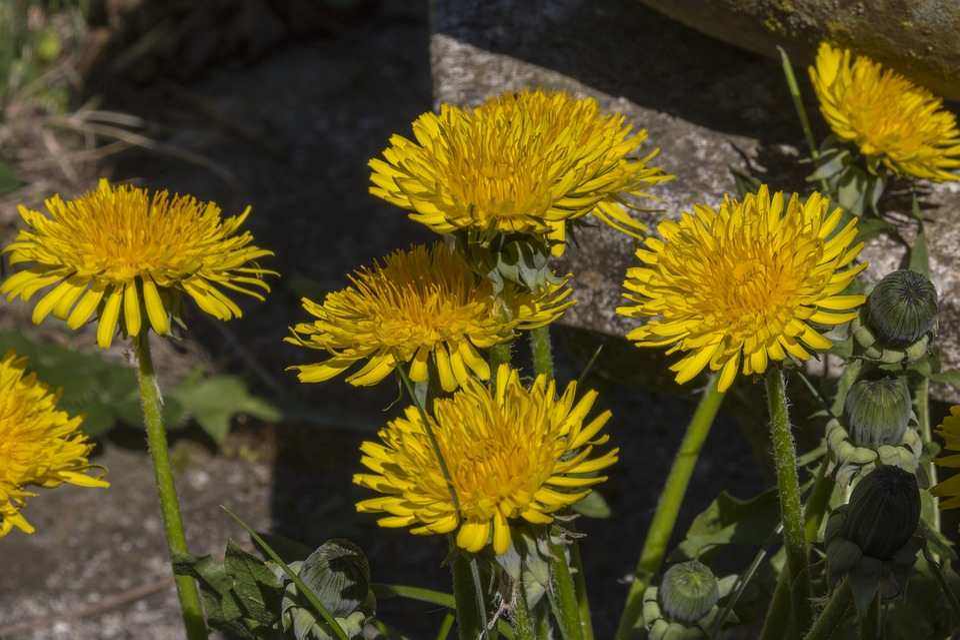 Dandelion, Yellow, Flower, Weeds, Taraxacum, Spring