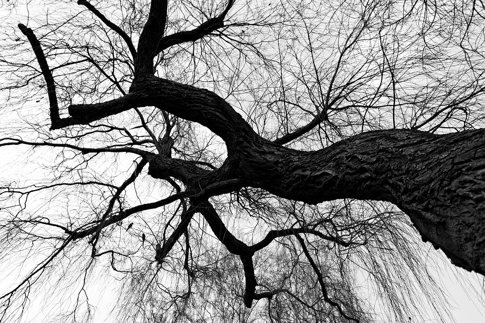 Weeping Willow, Willow, Tree, Branch, Bare Tree