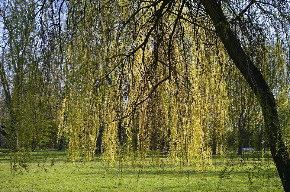 Weeping Willow, Salix Babylonica, Pasture, Salix