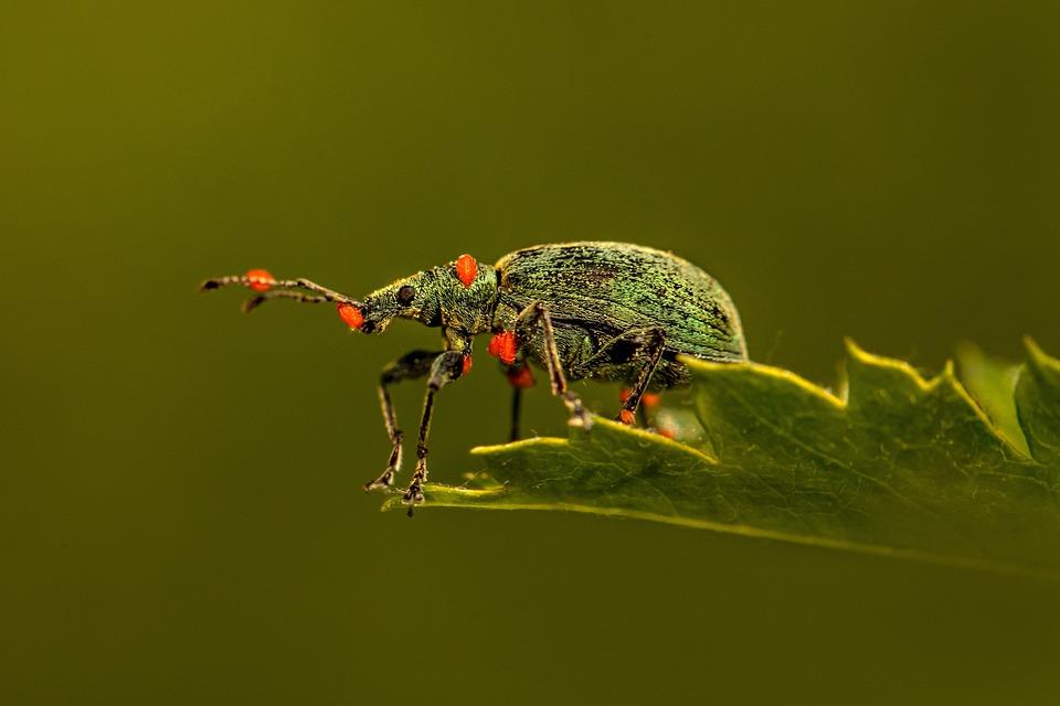Weevil, Beetle, Leaf, Insect, Bug, Pest, Animal, Nature