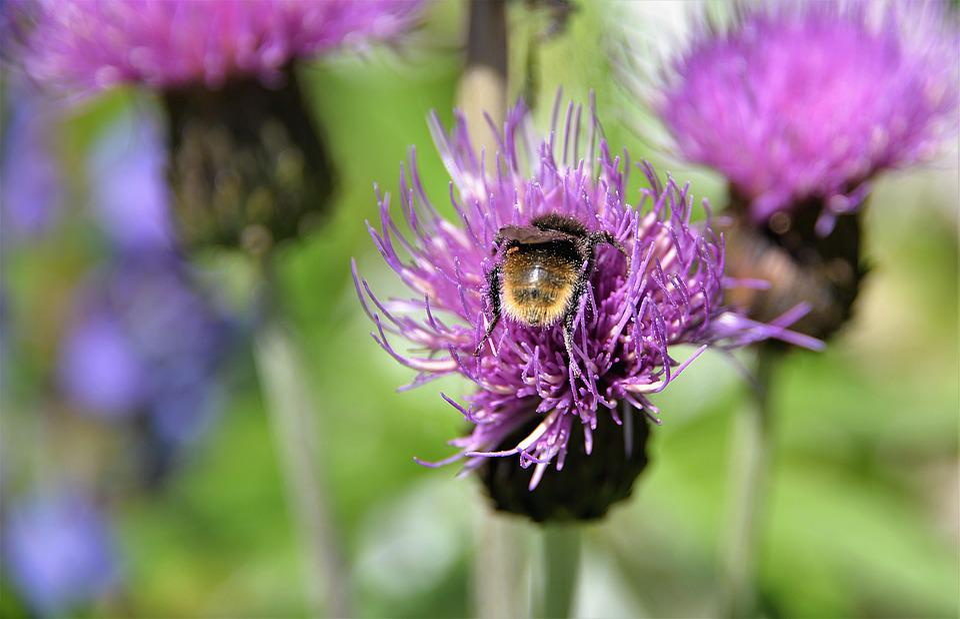 Mountain Bumblebee, Hummel, Wegdistel, Close Up