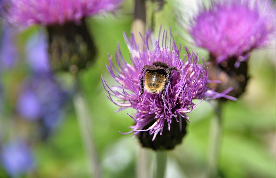 Mountain Bumblebee, Hummel, Wegdistel, Close, Blossom