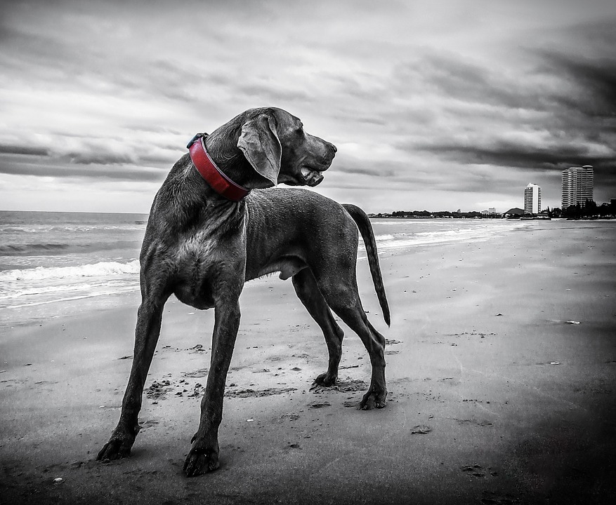 Weimaraner, Beach, Thailand, Dog