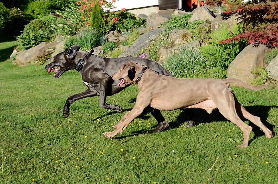 Dog Run, Great Dane, Weimaraner