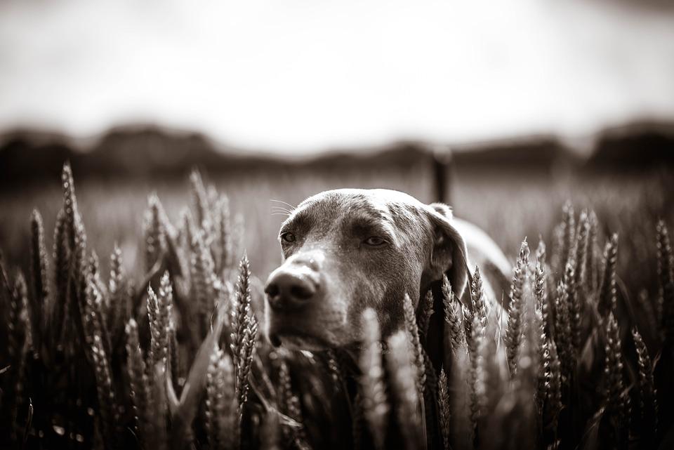 Dog, Labrador, Meadow, Weimaraner, Field, Sepia, Nature
