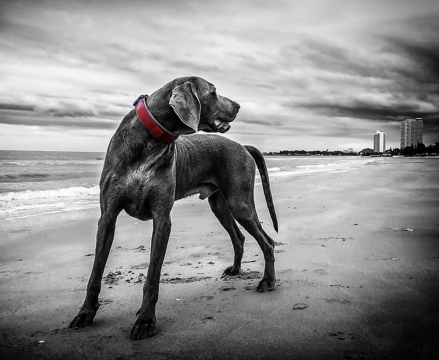 Weimaraner, Dog, Beach, Pet, Black