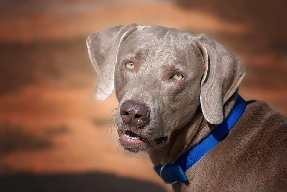 Dog, Face, Brown, Weimaraner, Pet, Animal, Cute, Canine
