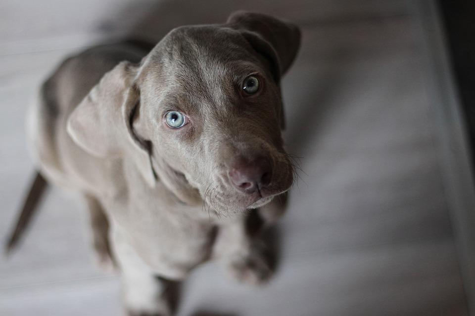 Weimaraner, Puppy, Snout, Dog, Grey, Pet