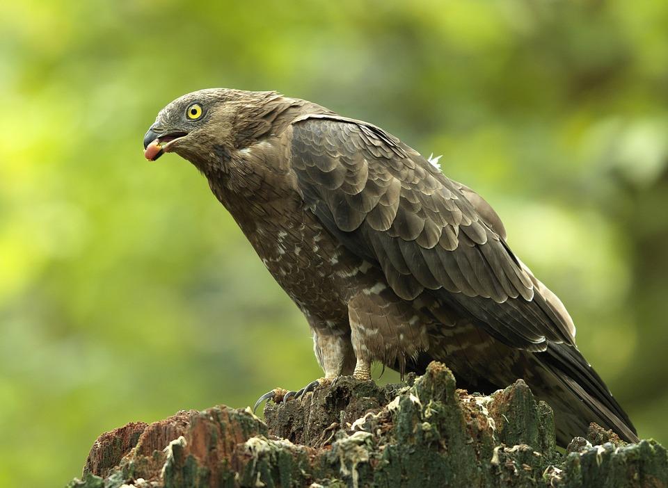 Wespendief, Bird Of Prey, Vogel, Wildlife