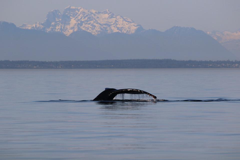 Humpback, Whale, West Coast, Ocean, Mammal, Sea, Animal