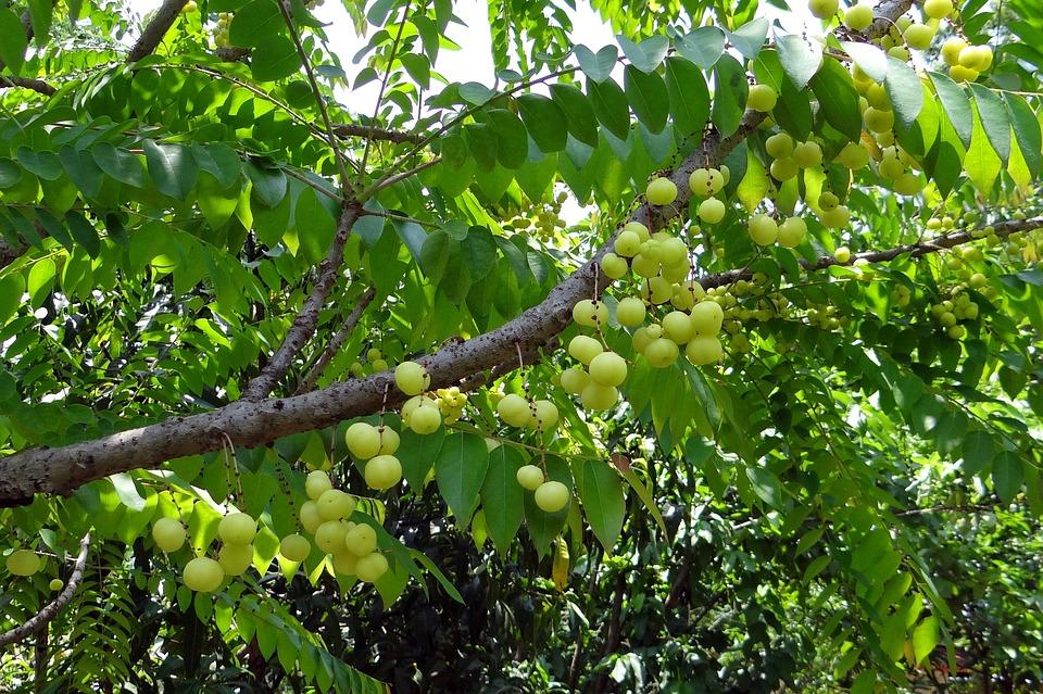 Star Gooseberry, West India Gooseberry