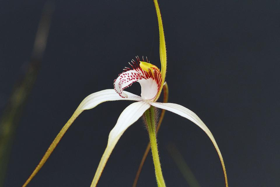 White Spider Orchid, Orchids, Western Australia