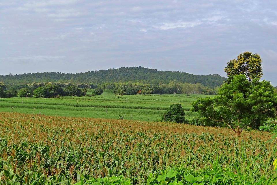 Maize Field, Hills, Landscape, Western Ghats, Karnataka