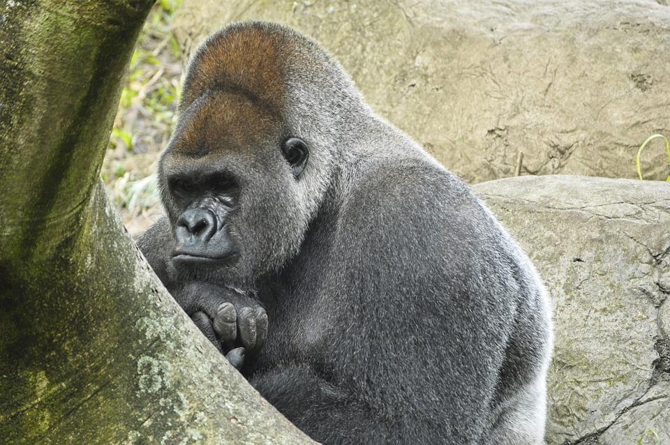 Western Lowland Gorilla, Ape, Primate, Mammal