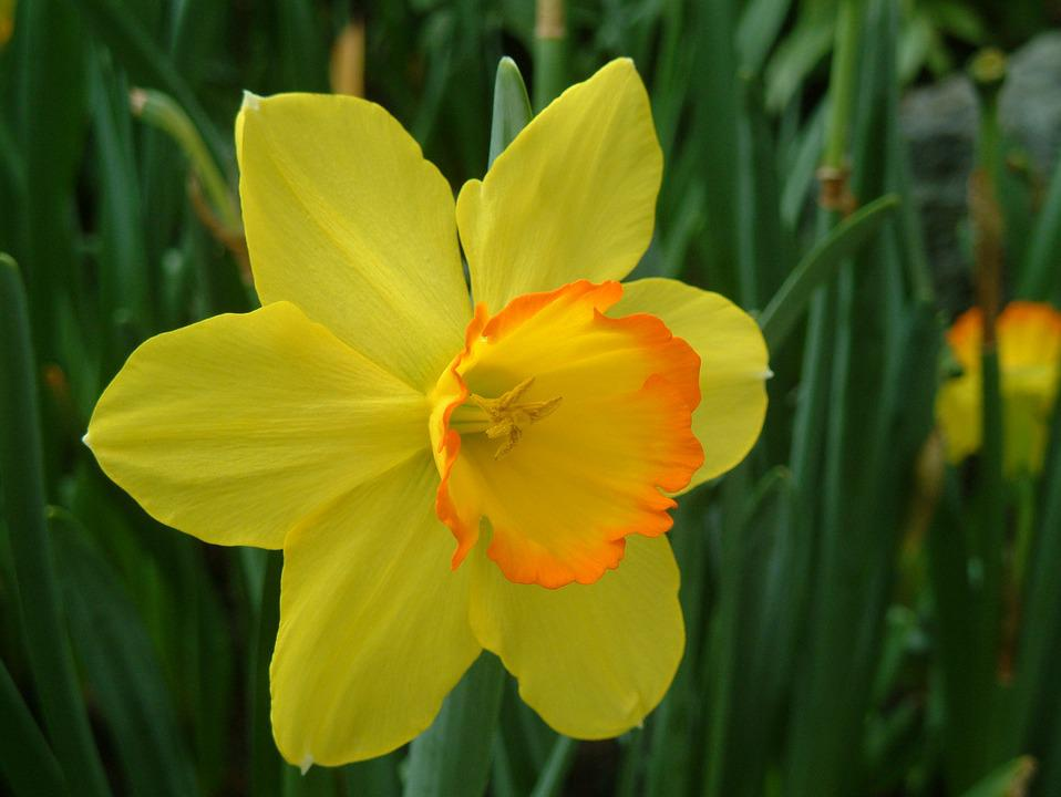 Plant, Yellow Flower, Western Narcissus